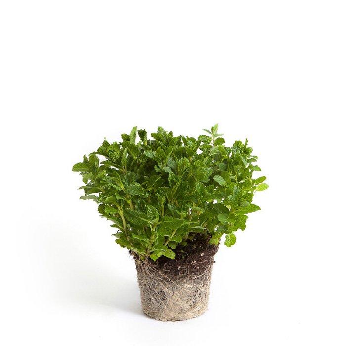 Menta simonato aromi bio for Piante di lamponi acquisto